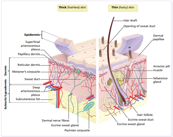 skin-diagram